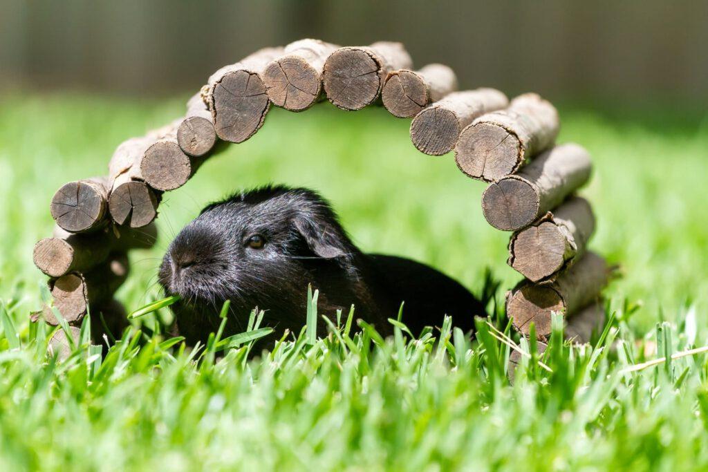 meerschweinchen schwarz